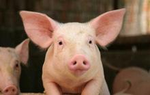 Giá thịt lợn có thể giảm khi lợn Thái Lan về Việt Nam tăng