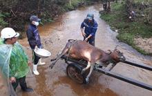 Thừa Thiên Huế cần kịp thời hỗ trợ người dân có trâu, bò bị chết rét