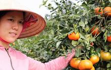 Hà Tĩnh: Cam bù Hương Sơn được mùa lại trúng giá